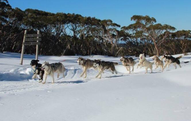 Baw Baw dog sled dash